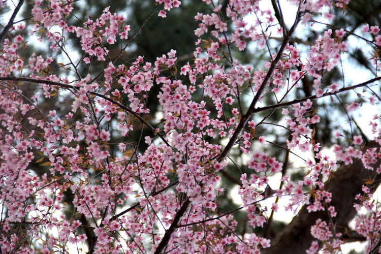 Apple Blossom Beauty In Nature Blooming Blossom Botany Branch Cherry Blossom Cherry Tree Close-up Day Flower Fragility Freshness Growth Low Angle View Nature No People Orchard Outdoors Petal Pink Color Plum Blossom Springtime Tree Twig