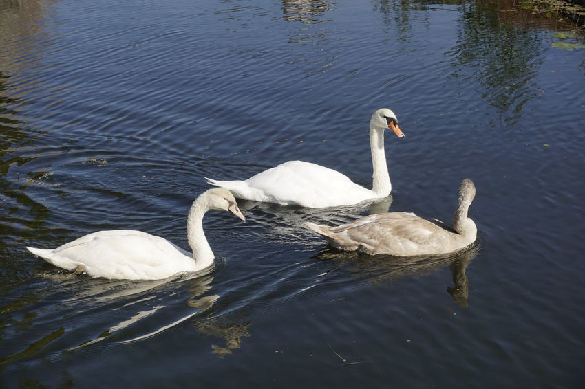 Animal Animal Themes Animal Wildlife Animals In The Wild Bird Cygnet Day Lake Nature No People Swan Swimming Vertebrate Water Water Bird Waterfront White Color