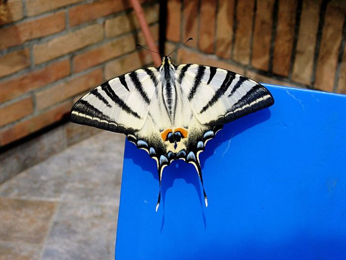 Close-up of butterfly perching on blue wall