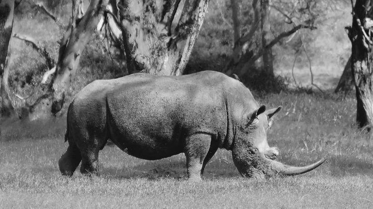 Rhino at Solio Game Reserve Animal Animal Themes Animal Wildlife Animals In The Wild Day Domestic Animals Field Grass Herbivorous Land Livestock Mammal Nature No People One Animal Outdoors Plant Rhino Safari Animals Standing Tree Vertebrate