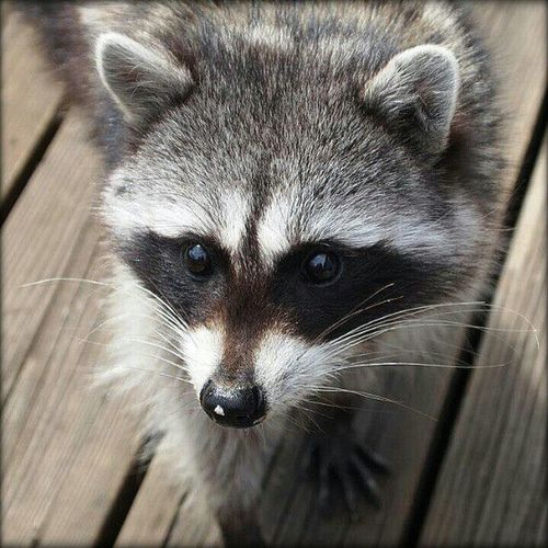 Raccoon Upclose  on my Patio Animals Adorable Picoftheday Photooftheday Parkroseoregon OlympusPenEpl1