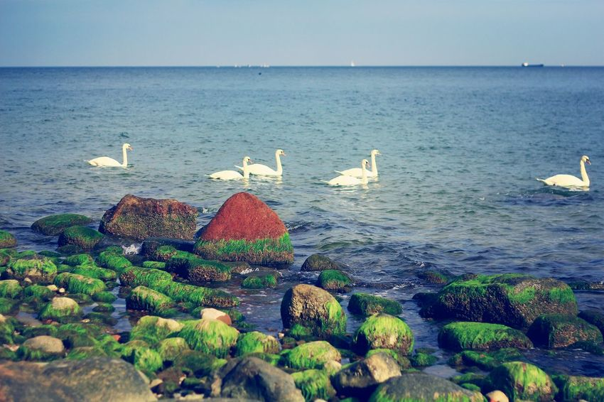 Swans Nice View Life Is A Beach Stone Landscape_Collection Sea Birds