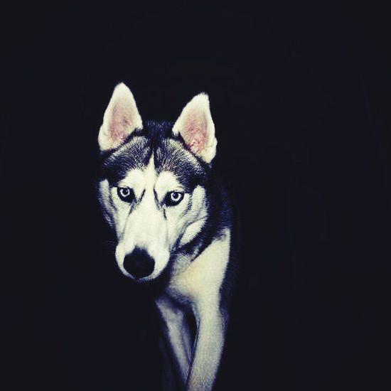 Husky ♡ Skelmersdale British Husky Love Husky Puppy Siberian Husky