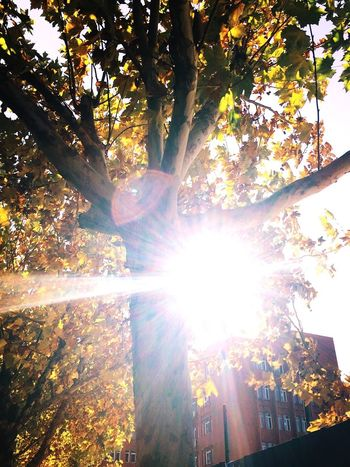 Taking Photos Sunbeam Sunlight Tree Sun Outdoors Beauty In Nature Autumn 😚 Low Angle View Check This Out Leaves Tree Shining Branch Fall Getting Inspired Hello World