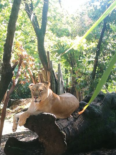 Animal Themes Lioness