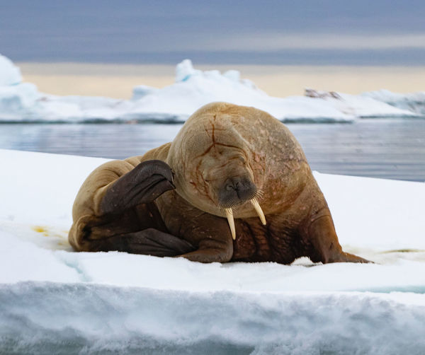 This walrus has an itchy head! Shot in Svalbard, Artic Animal Themes Animal One Animal Cold Temperature Winter Snow Mammal Animal Wildlife Animals In The Wild Nature No People Domestic Walrus Arctic Svalbard  Spitsbergen Scratching