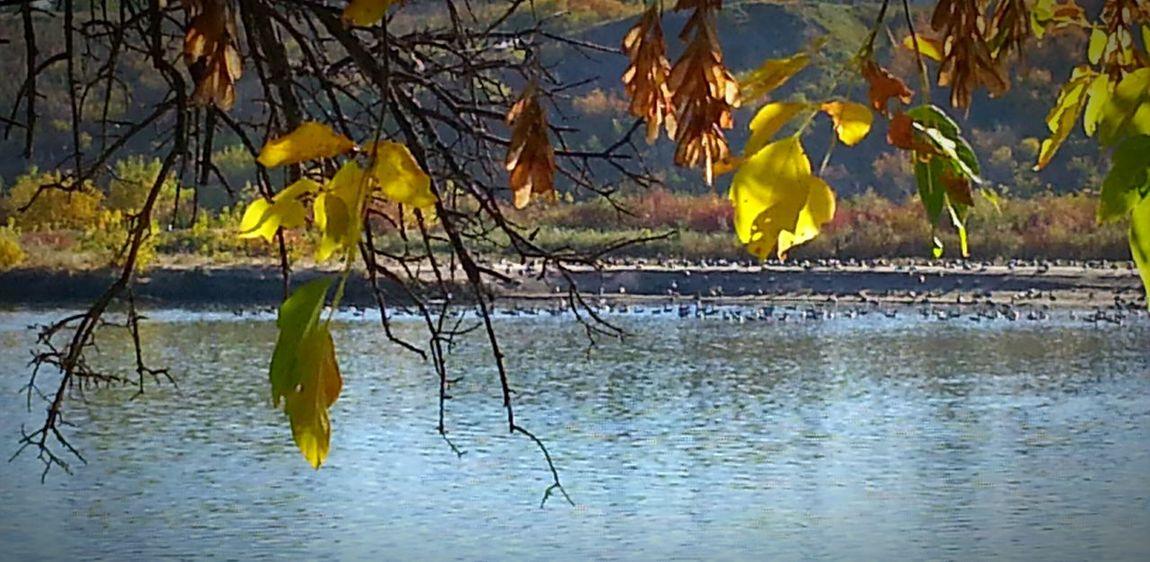 South Saskatchewan River Autumn🍁🍁🍁 Autumn Colors Autumn 2015 Nature Photography EyeEm Best Shots - Autumn / Fall Canadian Geese