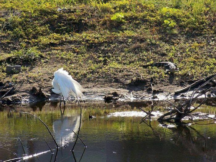 Landscape #Nature #photography Floridalife Alligator Nature Snowy Egret