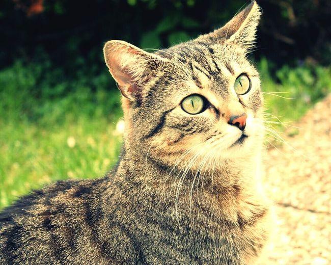 Pets Feline Domestic Cat Animal Themes Schisy Cat Cat Lovers Pet Portraits