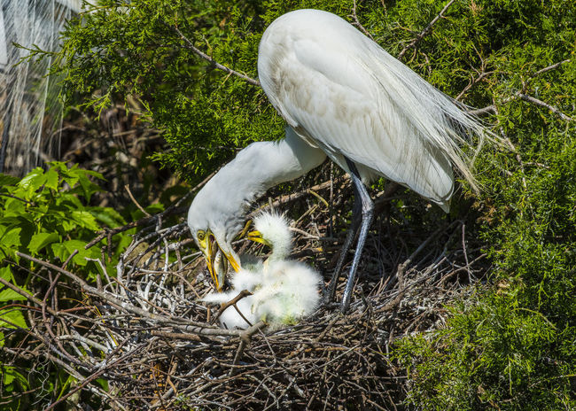 Animal Themes Animal Wildlife Animals In The Wild Bird Day Egret Egret Feeding Babies Great Egret Nature No People One Animal Outdoors White Color
