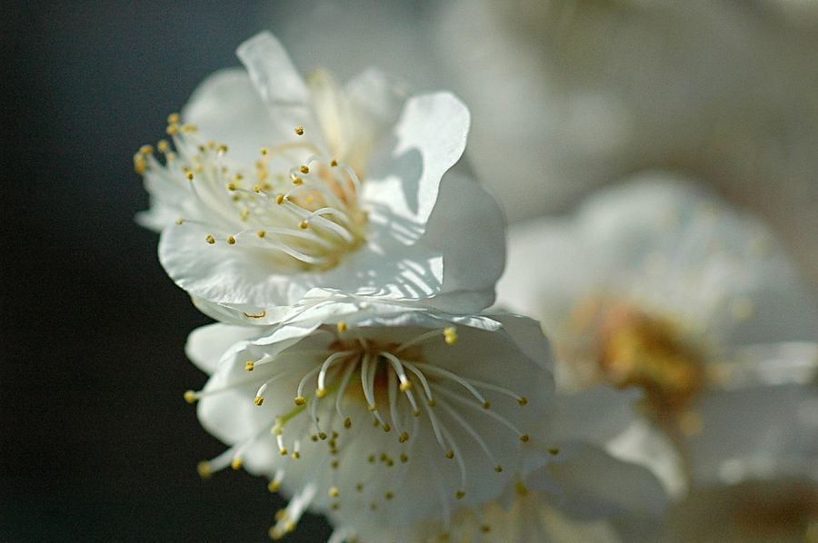 Flower Collection EyeEm Flower Macro Fleshyplants EyeEm Nature Lover Colors Spring Colours Spring Blossom Plum 梅