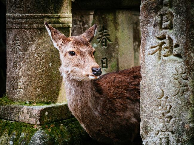 deer at Nara Animal Head  Close-up Deer Japanese  Mammal Nara Park Nara,Japan Nature