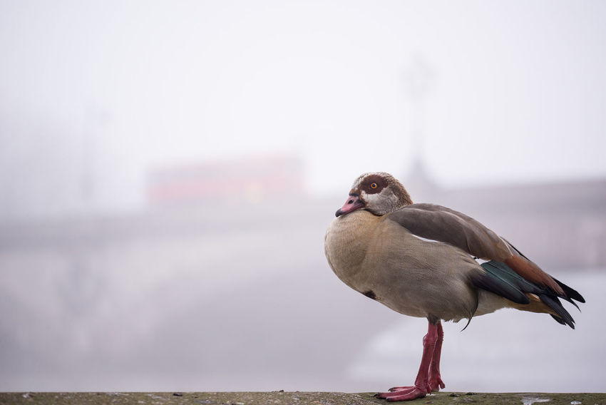 Animal Themes Bird Bridge Day Focus On Foreground Fog Foggy Foggy Day Goose Kew Bridge London Nature One Animal Outdoors Perching Perching Bird Urban And Nature Urban Animals Water Water Bird Double Decker Bus Double Decker