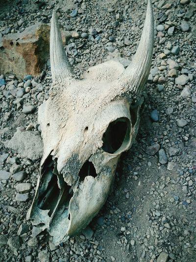 Close-up Skull Rams Head Decay Natural Death Bones Nature Outdoors No People
