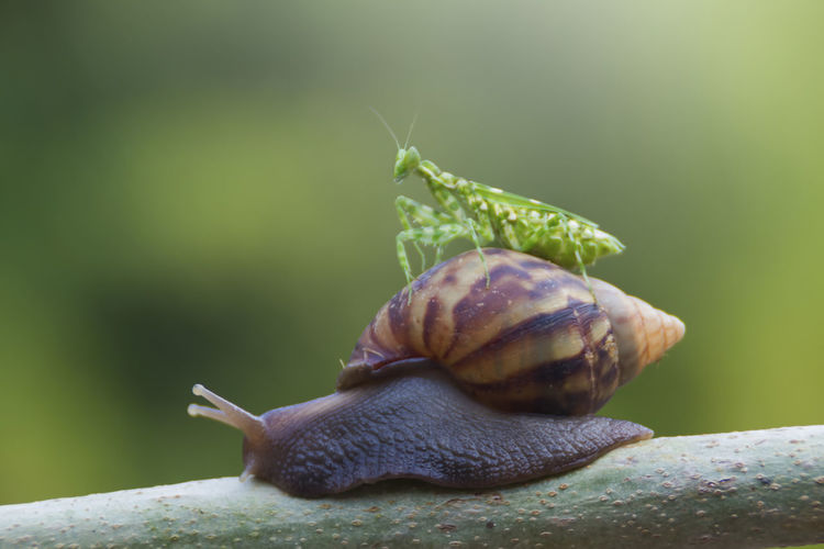 mantis and snail Mollusk Gastropod Snail Animal Wildlife Animal Themes Animals In The Wild Invertebrate Animal Close-up One Animal Shell Focus On Foreground Animal Shell No People Animal Antenna Nature Green Color Day Selective Focus Plant Part Outdoors