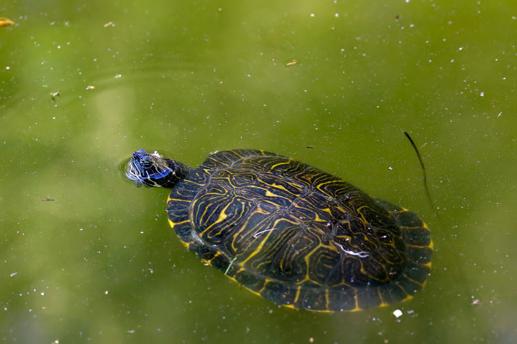 Close-up of turtle swimming in lake