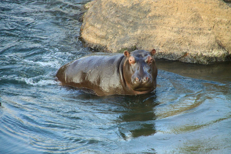 Baby hippo in water, south africa