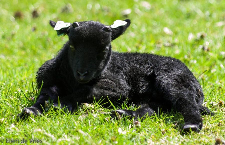 Sleep Sleepy Sleeping Schapen Schaap Sheep Sheeps Farm Animals Little Black Color One Animal Grass Livestock Farm Life Farm Animal Close-up Lying Down Outdoors