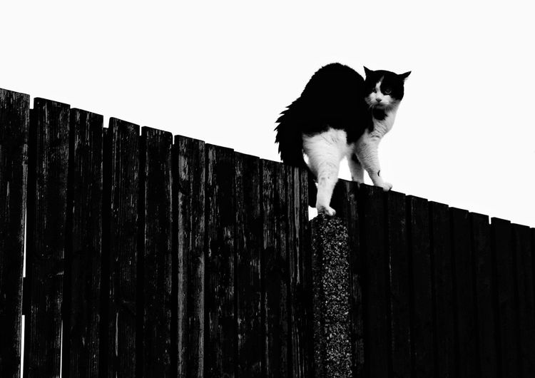 Agressiv cat One Animal Mammal Animal Animal Themes Animal Wildlife Domestic Animals Outdoors Pets No People Day Sky Photography Brunomphotography Close-up Wood - Material Pattern Backgrounds Blackandwhite Welcome To Black Cat Agressive Defense