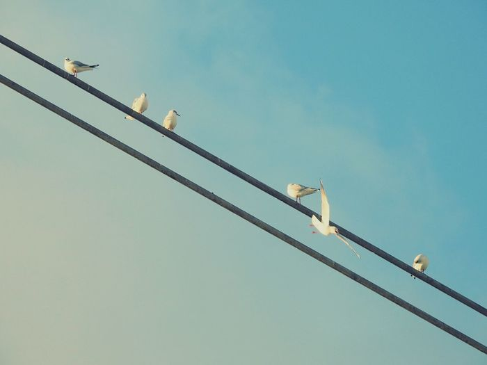 Low angle view of seagulls perching on cable against clear sky