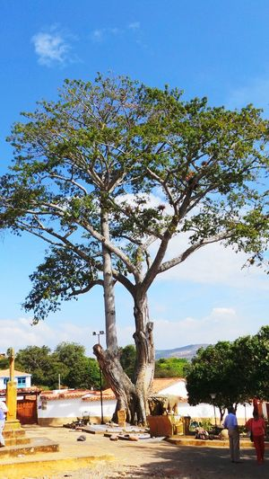 300 years old tree in barichara Santander-Colombia Trees Ancient Beauty Nature Enjoying Life
