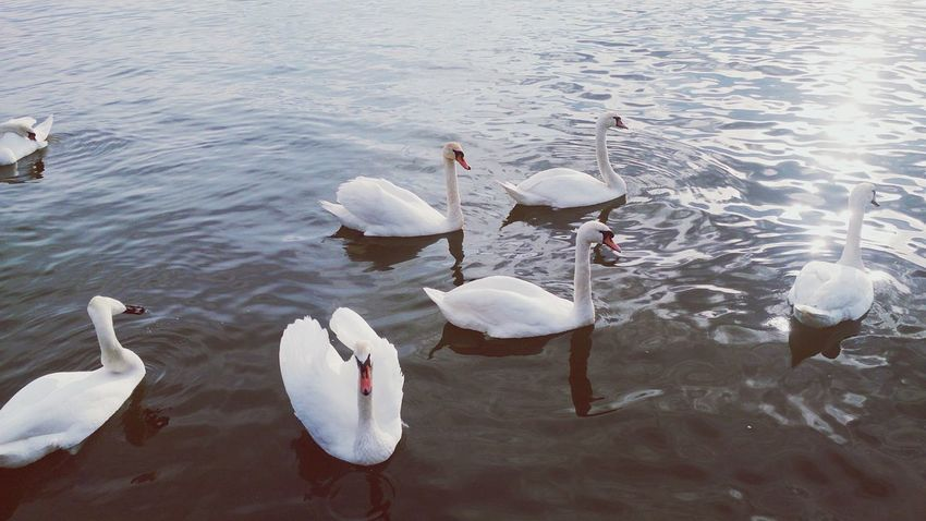 Relaxation Swans White Color
