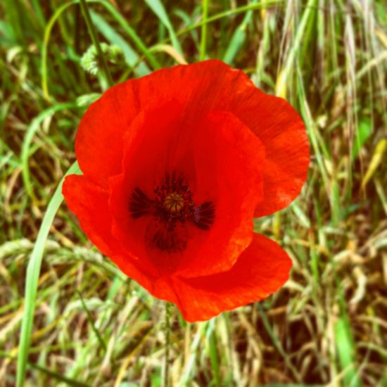 Poppy flower. The beautiful face of devastating addictions. Poppy Poppy Flowers PoppySeed Poppyflower Red Nature Field Addiction Poetic Summer