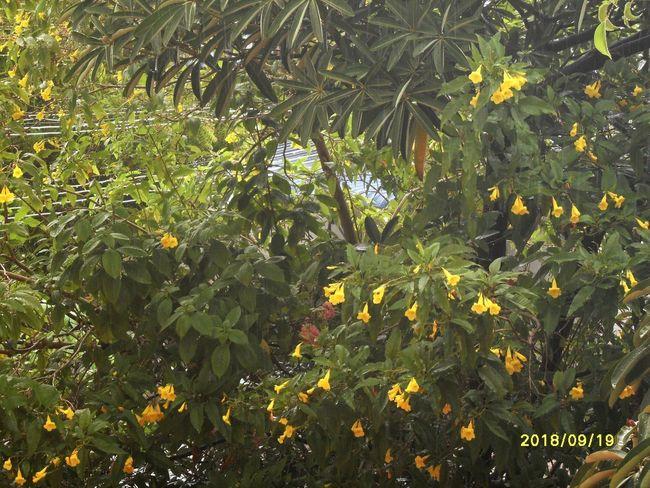 "yellow flowers"" Yellow Flowers Roadside Tree Plant"