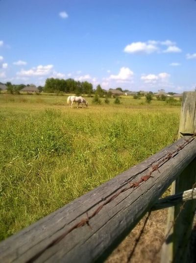 Field Grass Sky Rural Scene Animal Themes Green Color No People Nature Landscape Domestic Animals Day Livestock Outdoors Growth Mammal Beauty In Nature Agriculture White Horse Blue Color Sky White Color Clouds Wooden Fence Rail Vilonia, Arkansas