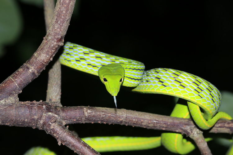 Green snake9 Tree Green Color Green Reptile Snake Nature Photography Snakes Reptile Photography Nature_collection Greensnake Nightphotography Dark Nature Reptiles Green Snake Black Background Reptile Camouflage Branch Tail Chameleon Close-up