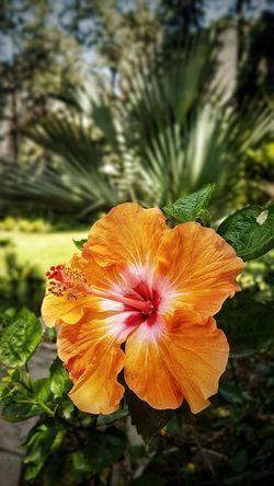Orange Hibiscus Orange Hibiscus @gpmzn Shot On Leica Beauty In Nature Orange Fliwer Leaf Green Color In Bloom Pistil Botany Blossom