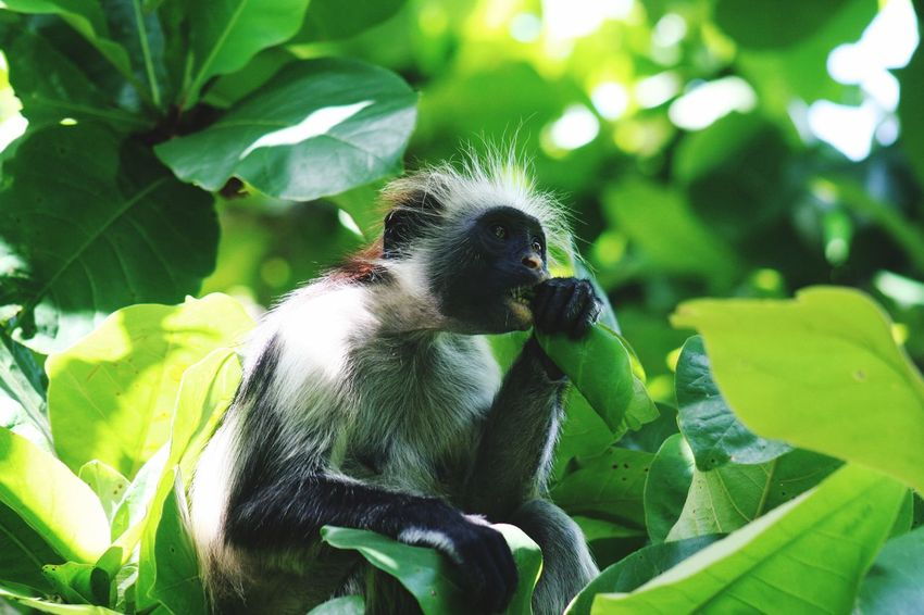 Monkey Zanzibar Food Eating Tanzania Colobus Zanzibar Monkey Animals In The Wild Green Color Animal Wildlife Animal Themes Animal One Animal Plant Part Leaf Plant Close-up No People Focus On Foreground Beauty In Nature Growth
