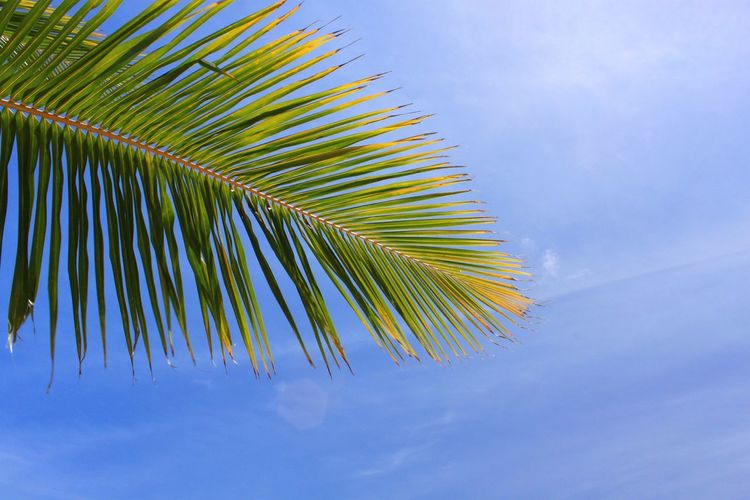 Palm Tree Sky Blue Palm Leaf Nature Island Tropical Paradise Blue Sky Sun Hot Weather Photography Sundrenched  Island Paradise