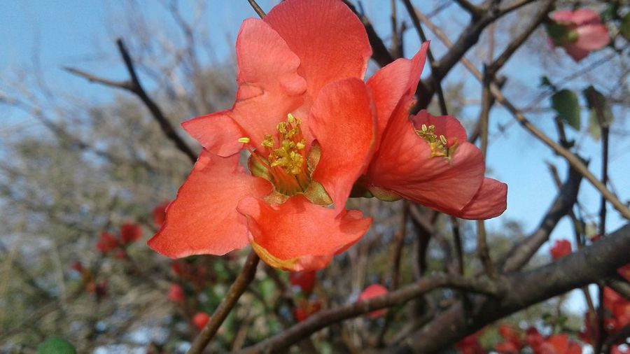 A coral orange colored flowering quince blooms on a bare branch agaist a pattern of branches and a blue sky. Nature Flower Close-up Petal Outdoors Springtime No People Blossom Day Sky Branch Freshness Flower Head Red Coral Colored Beauty In Nature Sign Of Spring Blooms In Winter Plant Blue Sky Quince