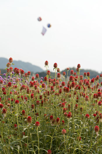 festival of globe amaranth flower with bellvedere at Nari Park in Yangju, Gyeonggido, South Korea Globe Amaranth Flower Beauty In Nature Clear Sky Close-up Day Field Flower Fragility Freshness Globe Amaranth Grass Growth Nature No People Outdoors Park Plant Poppy Red Sky