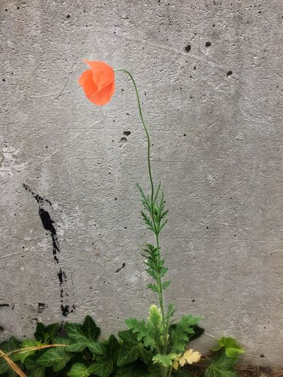Poppy Plant Growth Nature Red Day Flower No People Flowering Plant Wall - Building Feature Outdoors Green Color