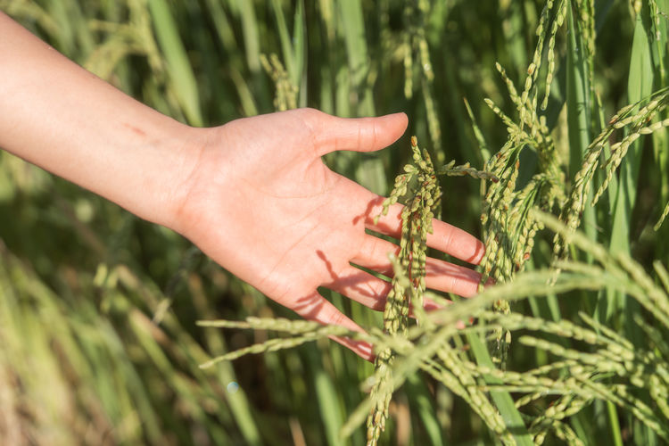 Rice Hand Human Body Part Plant Human Hand Growth One Person Real People Nature Day Body Part Holding Sunlight Focus On Foreground Selective Focus Agriculture Green Color Outdoors Finger Human Finger Human Limb Thailand ASIA Green Color
