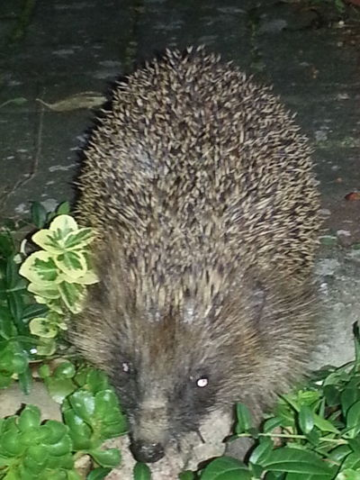 Nature Biology Igel My Garden