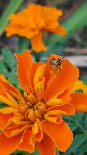 Flower Orange Color Nature Flower Head Freshness Beauty In Nature Plant Outdoors No People Close-up Day Merigold Orange Flower Bugslife Bug Little Things Little Critter