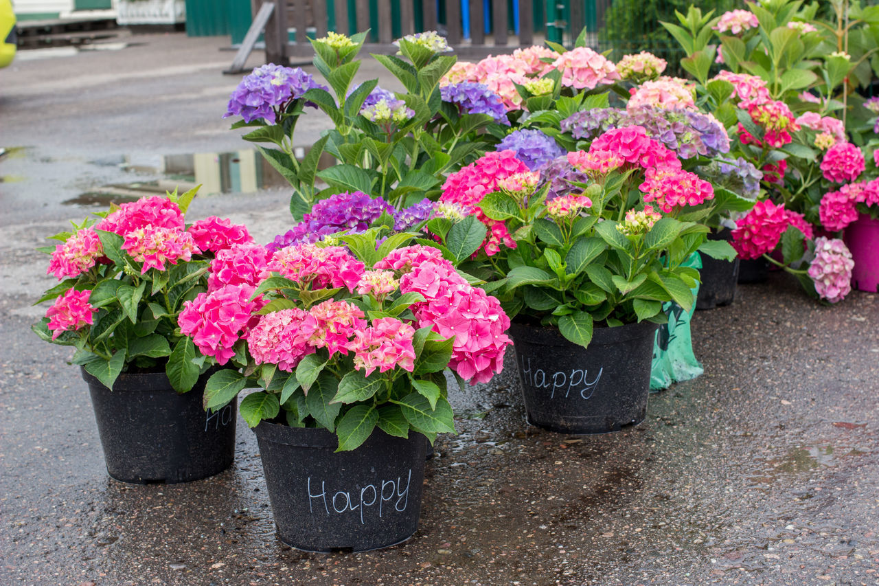 flowering plant, flower, plant, beauty in nature, pink color, nature, freshness, growth, vulnerability, fragility, no people, flower head, day, potted plant, outdoors, plant part, leaf, multi colored, inflorescence, peony, flower pot, flower arrangement, bouquet, flowerbed, purple