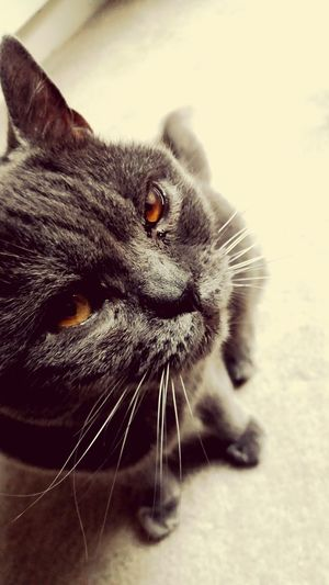 Cat Close The Closer The Better Grey Mad Animal Feline Old Old Cat Love Animals Love Photography