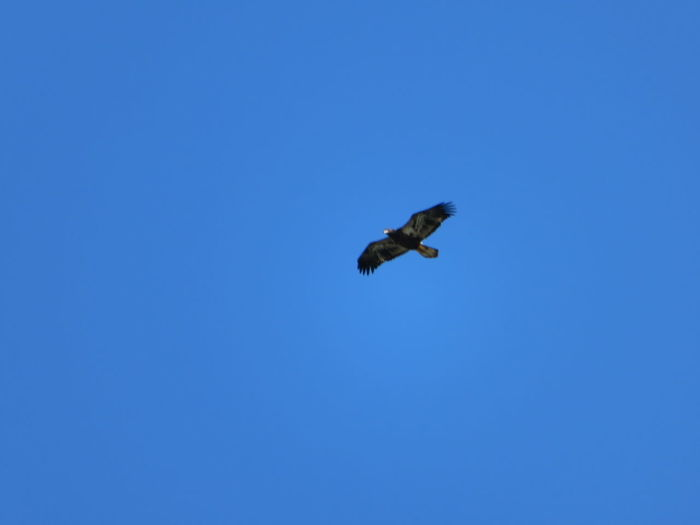Bird of prey Bird Of Prey Bird Spread Wings Flying Clear Sky Blue Sky Animal Themes