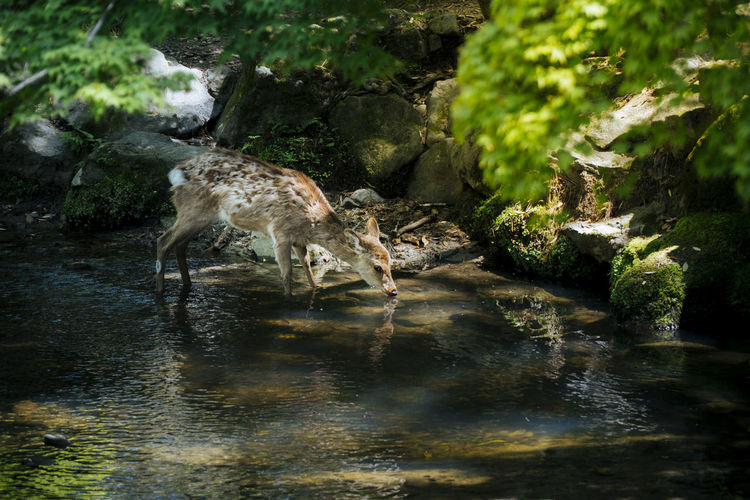 Deer drinking water Animal Animal Themes Animal Wildlife Water Animals In The Wild Mammal One Animal Nature Vertebrate No People Forest Day Tree Lake Rock Plant Stream - Flowing Water Solid Outdoors Drinking
