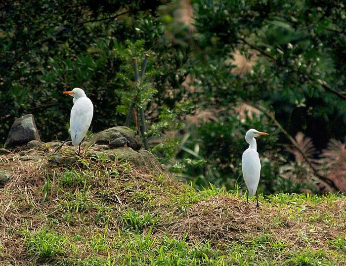 Egret guard duty Taiwan Animal Wildlife Animals In The Wild Bird Day Egret Grass Guard Duty Ibis Nature No People Outdoors Perching White Color