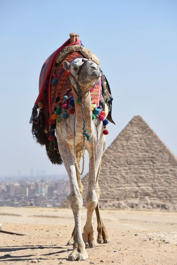 Camel in front of giza pyramid against clear sky