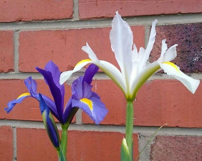 Iris Are