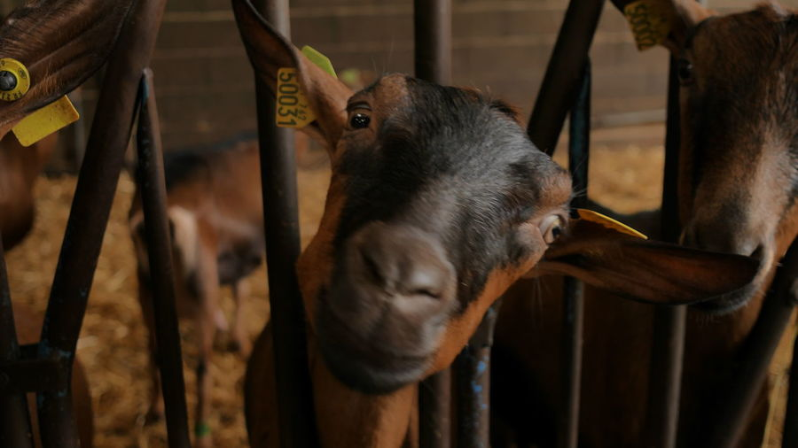 Close-up of goats in pen