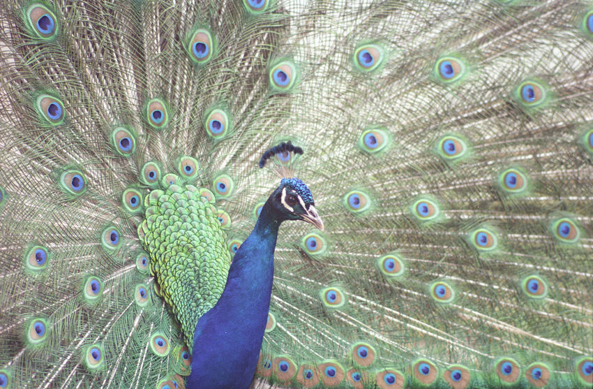 Animal Themes Animal Wildlife Animals In The Wild Beauty In Nature Bird Blue Close-up Day Fanned Out Feather  Film Green Color Multi Colored Nature No People One Animal Outdoors Peacock Peacock Feather Portrait Pride Live For The Story BYOPaper! The Great Outdoors - 2017 EyeEm Awards The Street Photographer - 2017 EyeEm Awards The Portraitist - 2017 EyeEm Awards The Week On EyeEm