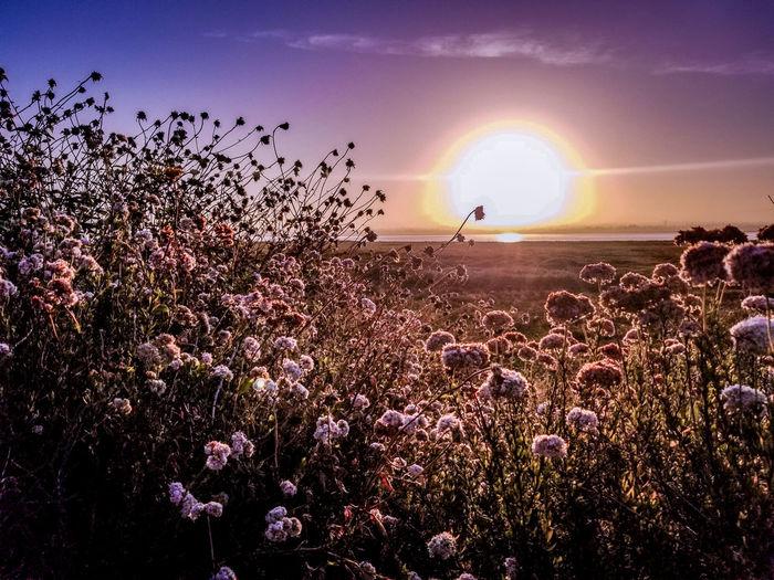 sunrise Flower