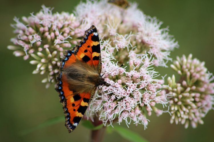 Insect Animals In The Wild One Animal Animal Themes Wildlife Flower Butterfly Beauty In Nature Fragility Focus On Foreground Close-up Growth Freshness Butterfly - Insect Springtime Plant Selective Focus Perching Zoology Little Tortoiseshell Tortioseshell